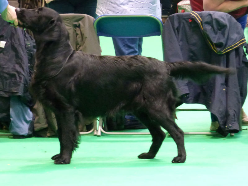Covenstead Proper Gentleman at Crufts